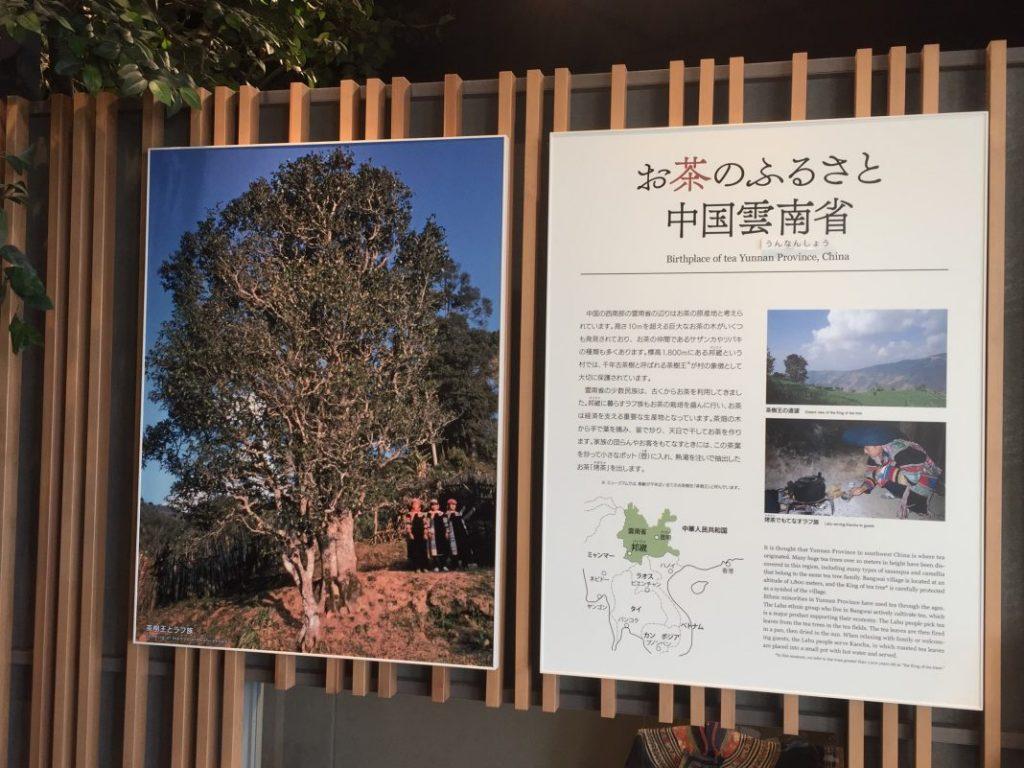 お茶のふるさと中国雲南省