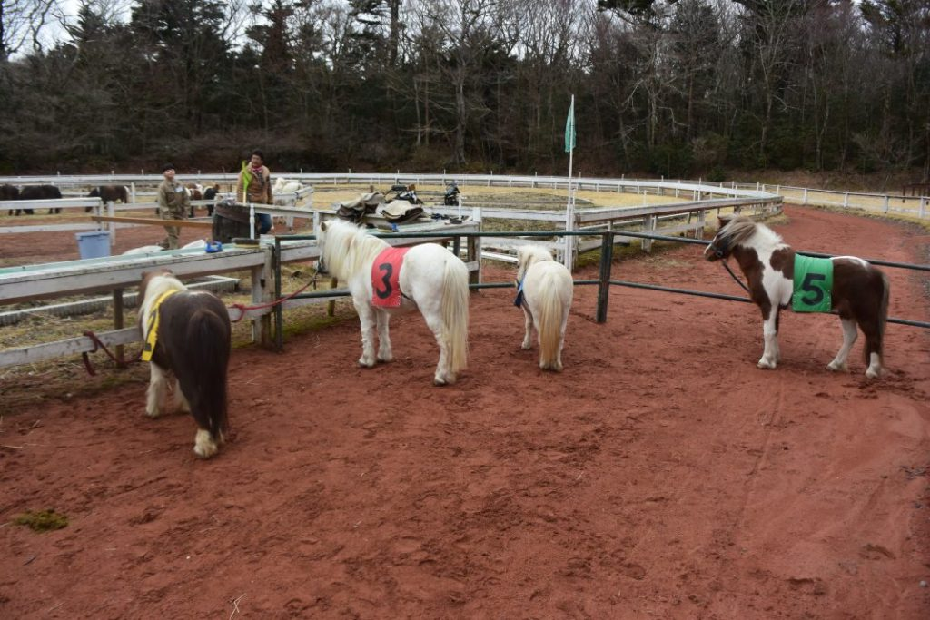 ポニーよりも一回り小さな馬、「アメリカンミニチュアホース」