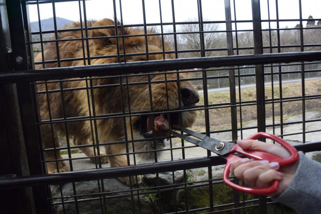 ライオンに餌をあげます。餌は「手羽元」