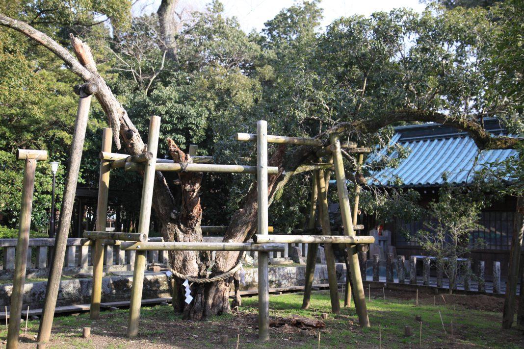 三嶋大社_樹齢1200年の金木犀