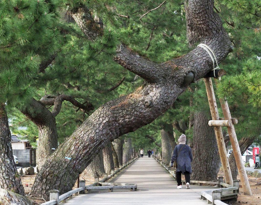 三保の松原_圧巻の松の木