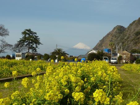 井田菜の花畑