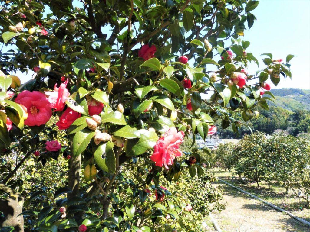 藤枝市玉露の里椿園