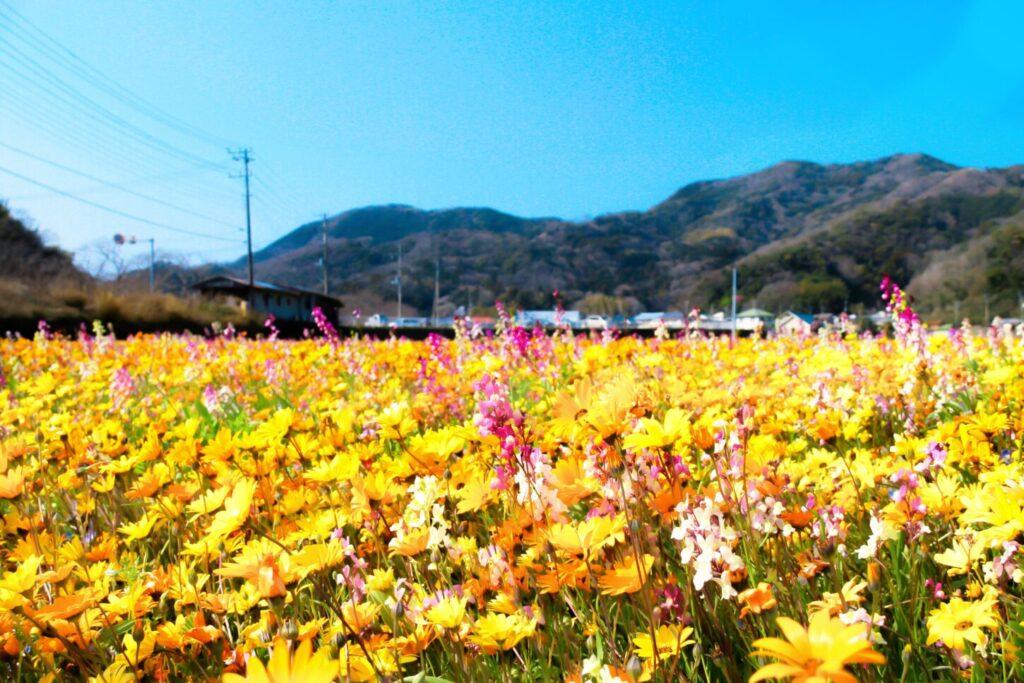 松崎町_田んぼを使った花畑