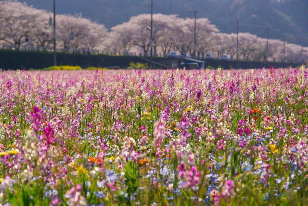 松崎町_田んぼ花畑2