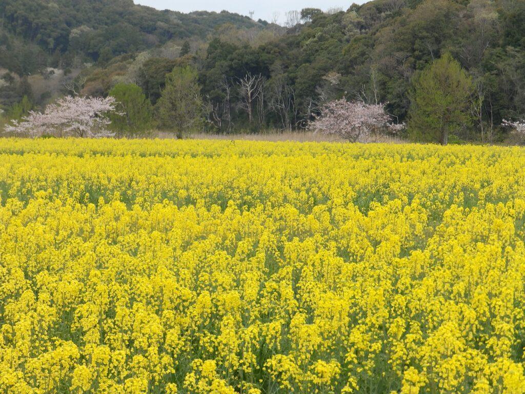 桶ヶ谷沼_菜の花
