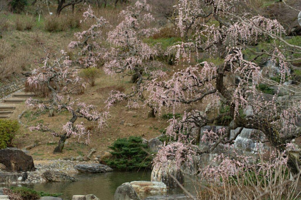 花の奥山高原_しだれ梅2