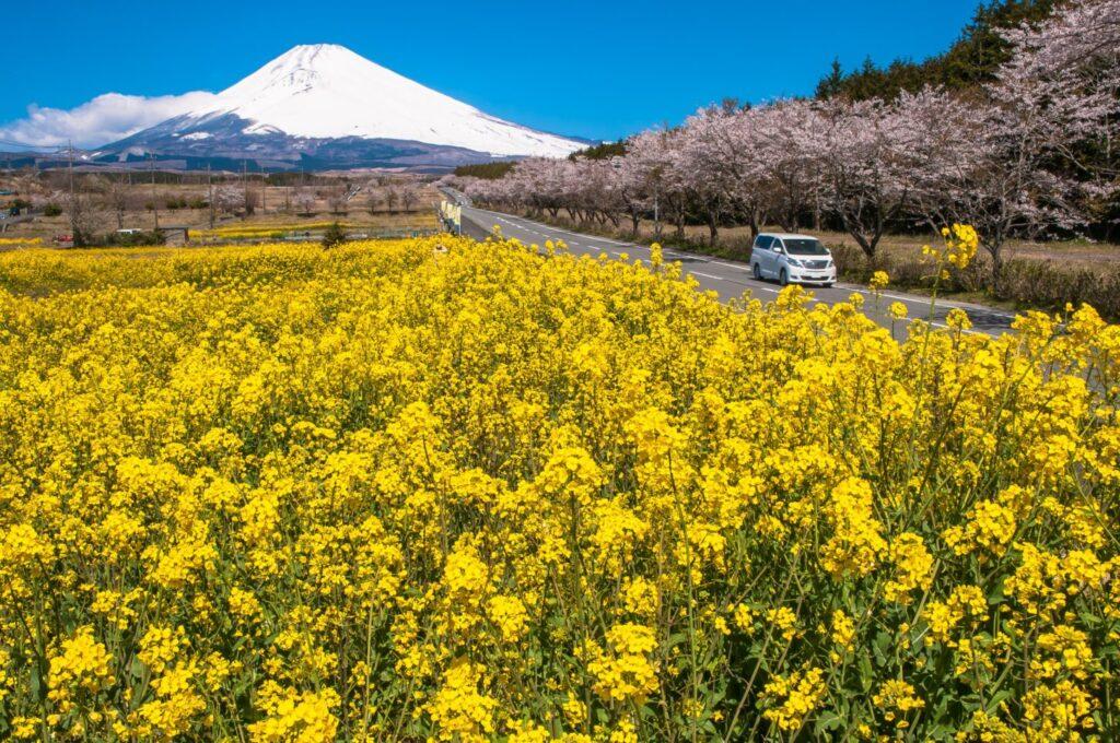 富士山裾野パノラマロード_菜の花
