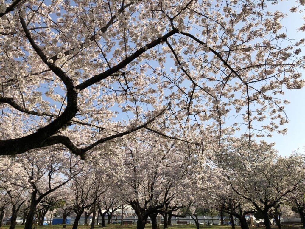 駿府城公園_桜