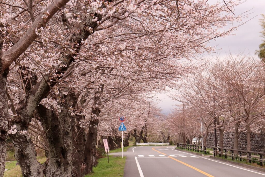 狩野川さくら公園_桜